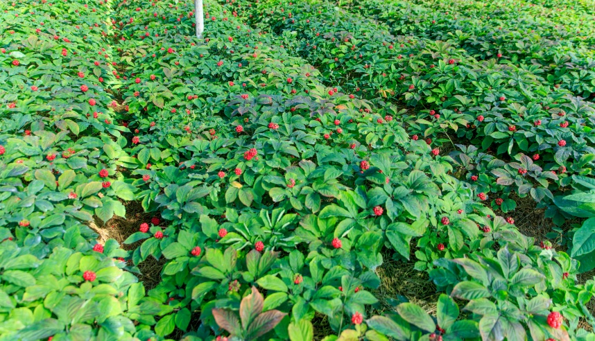 Rows of ginseng plants