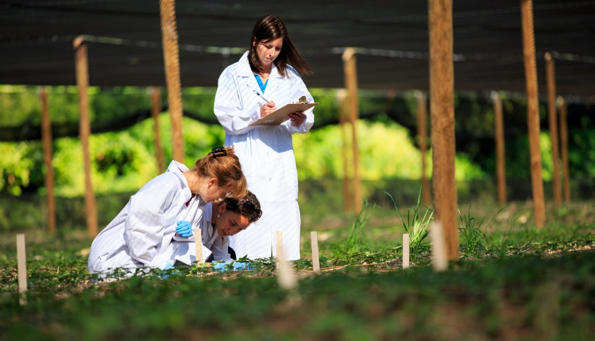 Researchers inspecting ginseng plants outside
