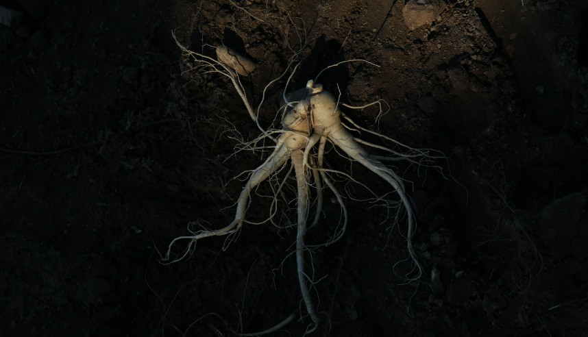 image of ginseng root underground