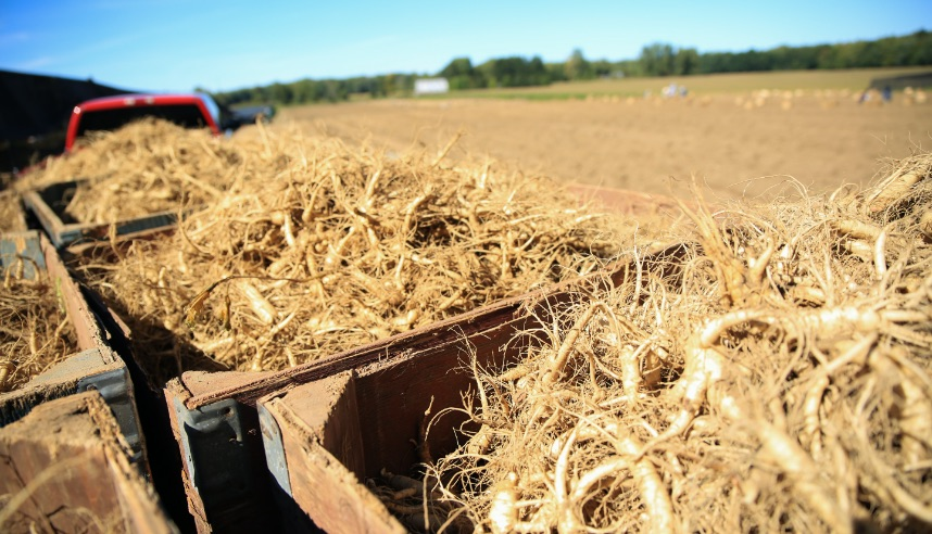 Harvested Ontario Ginseng